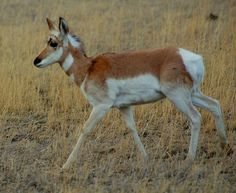 Baby Pronghorn in Montana