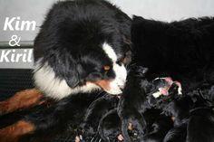 Berner Sennen kennel Bangais, Hondenkapsalon, Bernese Mountaindog, Bernese mountain dog, Berner Sennenhond,Bouvier Bernois, Belgie, Nederland