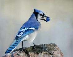 Bluejay with blueberry.  My 'blue' phase!  > dee mills