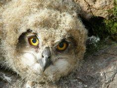 Bubo bubo / Eurasian Eagle Owl