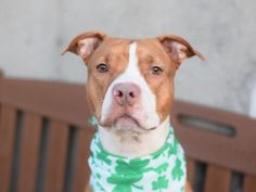 JAZZY aka SPRING  – A1056850  (ALT ID – A1064916)  **RETURNED 04/05/16**  SPAYED FEMALE, TAN / WHITE, PIT BULL MIX, 2 yrs, 6 mos RETURN – EVALUATE, HOLD RELEASED Reason PETS CONFL Intake condition EXAM REQ Intake Date 04/05/2016, From NY 11219, DueOut Date 04/08/2016,  Medical Behavior Evaluation GREEN