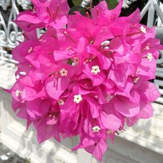 #pink #flower cluster #blossoms #thailand