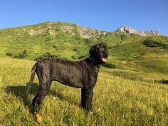 early morning walk in Lech Black Russian Terrier, Early Morning, Dogs, Animals, Animales, Animaux, Pet Dogs, Doggies, Animal