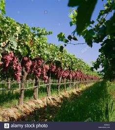 Stock Photo - Agriculture - Mature Red Globe table grapes on the vine, ready for harvest / Fresno County, California, USA Beautiful Rose Flowers, Beautiful Gardens, Fruit Garden, Vegetable Garden, Grape Vineyard, Willow Garden, Fresno County, Farm Layout, Image Nature