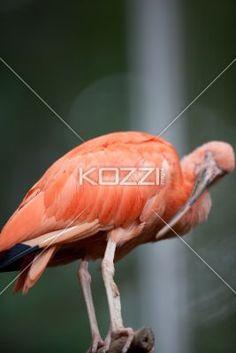 scarlet ibis grooming itself - Scarlet Ibis using long bill for grooming.