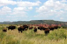 Texas State Bison Herd at Caprock Canyons State Park