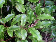 MāpouMāpou (Myrsine australis), also known as matipo, is found throughout New Zealand as an understorey tree in lowland and upland forest. It is a hardy plant and can grow in the canopy of second-growth scrub. Māpou is easily recognised by its light green wavy leaves and red branches.