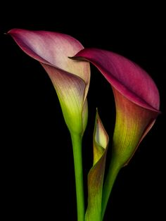 Three calla lillies by Lee Wilkerson on 500px