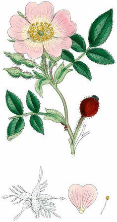 Rose - James Sowerby