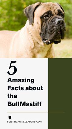 Mastiff Dog Breeds, English Mastiff, Gentle Giant, Dog Training Tips, Big Dogs, Fun Facts, Dog Lovers, Puppies, Cubs