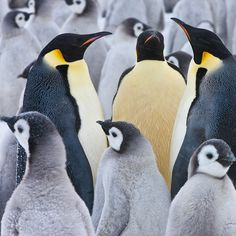 Photograph by @paulnicklen while #onassignment for @natgeo // Emperor Penguin standoff!  With dozens...