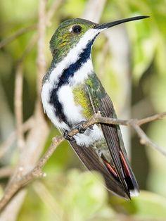 wikiaves.com.br colibri / oiseau mango á cravate noire - anthracothorax nigricollis bird