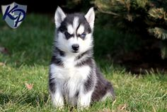 Coby – Siberian Husky Puppies for Sale in PA | Keystone Puppies