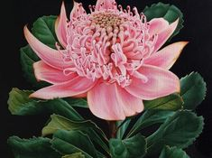 I have just completed the second painting in my current series with my Pink Waratah painting, a bold collection featuring the Australian Waratah Australian Native Flowers, Pastel Paintings, Concept Board, Botanical Illustration, Flower Art, Murals, Wild Flowers, Beautiful Flowers, Archive