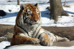 Tiger on Fotopedia