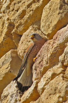 Lesser Kestrel male and concerns surround the decline in this species throughout our region. Bird Guides, Information About Birds, Area Of Expertise, Kestrel, Andalucia, Months In A Year, Bird Watching, Botany, Conservation