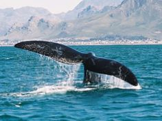 Having a whale of a time @ Hermanus: ek en Ir, van Vuuren girls naweek en most… African Countries, Countries Of The World, Places To Travel, Places To See, Provinces Of South Africa, Living In Europe, Out Of Africa, Whale Watching, Cool Photos