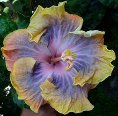 Hibiscus__Tahitian lavander lucky x tahitian lavander galaxy