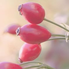 Rosehip oil is a great natural moisturizer and hydrator for dry skin. Super rich in and fatty acids and it can help fight aging and photo-damage. Natural Hair Tips, Natural Herbs, Natural Hair Styles, Natural Beauty, Vitamin C, Ampk Activator, Sugar Detox Cleanse, Oil Cleansing Method, Hair Beauty