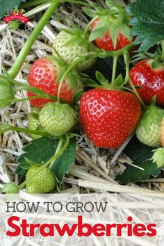 How to Grow Strawberries - Learn tips and tricks for growing strawberries in your own yard or backyard vegetable garden. Whether growing in containers or in the ground, growing strawberries at home has never been easier! Source by cpjsouthern - Strawberry Planters, Strawberry Garden, Fruit Garden, Growing Strawberries In Containers, Grow Strawberries, Raspberries, Planting Vegetables, Growing Vegetables, Veggies