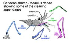drawing of caridean shrimp Pandalus danae showing a few of the appendages used in grooming