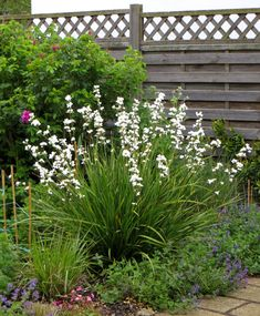 Libertia grandiflora (or Formosa, which is very similar but a touch taller). Evergreen grassiness with wiry stalks of tiny orchid-like flowers, June-July. Coastal Gardens, Beach Gardens, White Gardens, Outdoor Gardens, Garden Ideas Uk, Garden Inspiration, Horticulture, Pinterest Garden, White Plants