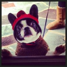 Boston Terrier Friendzy