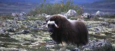 Musk ox safari at Dovrefjell, Norway - Photo: Dombås Turistkontor