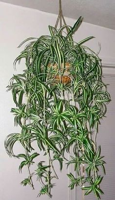 Spider plants. Everyone seemed to have some