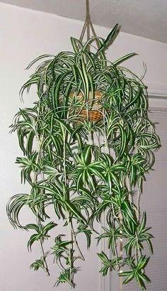 Had  vroeger   wel  veel  van   die  planten   ,  kweekte   ze  zelf