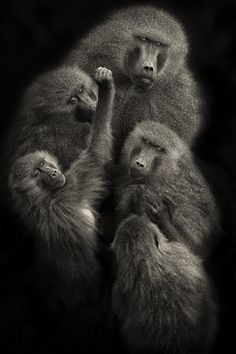 "500px / Photo ""Baboons "" United """" by Mario Moreno"