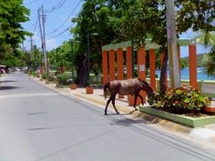 one of the many horses at Isla de Vieques, PR