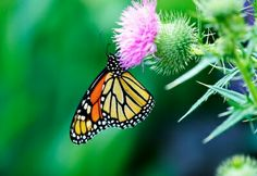 Monarch Butterfly on a thistle.