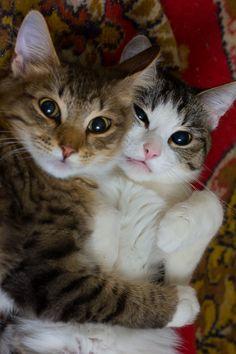 MostlyCatsMostly - (via balaam2012)  ❤️ Cats cuddling ❤️