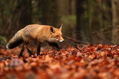 11 Fox Predators | A List of What Eats a Fox | All Things Foxes Fox Eat, Fox Running, Carnivorous Animals, Fox Pups, Young Fox, Fox Images, Fox Pictures, Pet Day, Wild Dogs