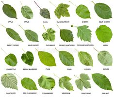 Collage From Green Leaves Of Trees With Names Stock Photo - Image of cucumber, basil: 77216600 Names Of Leaves, Trees And Shrubs, Trees To Plant, Garden Trees, Garden Plants, Tree Leaves, Plant Leaves, Tree Leaf Identification, Plant Art
