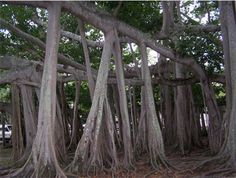 Banyan Tree ~ Originally from Africa and India. In Hindu mythology, this tree represents eternal life because of its expanding branches.
