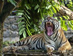 Harimau sumatra by Robert Cinega