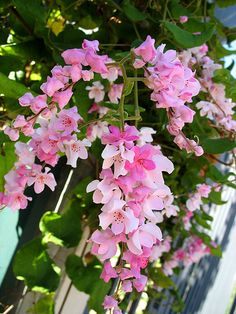Coral vine coral vine, antigonon leptopus ~ popular in Brazil Beautiful Flowers Garden, Exotic Flowers, Beautiful Gardens, Pink Flowers, Little Flowers, Pretty Flowers, Beautiful Flowers Wallpapers, Climbing Vines, Flowering Vines