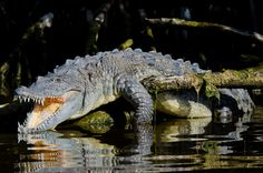American Crocodile by Carlton Ward Photography, via Flickr