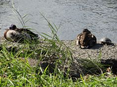 Kamo river with ducks and turtle