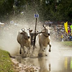 A jockey drive the bulls and make them run faster in a bull race competition in Chau Doc, Ang Giang, Vietnam. The competition is held after a rice harvest season. #vietnam   #vietnamese   #Khmer   #ethnicity   #minority   #culture   #agriculture   #festival   #traditional   #community   #spirituality