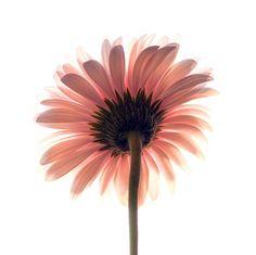 gerbera-my absolute favorite flower! So pretty!