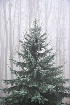 What a beautiful tree. I have never had a real tree before . that's gonna change when I find a tree like this Merry Christmas To You, Noel Christmas, Little Christmas, All Things Christmas, Winter Christmas, Natural Christmas, Beautiful Christmas, Woodland Christmas, Winter Snow