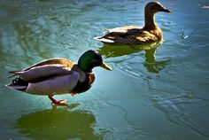 Don't Kill With Kindness, why feeding ducks bread is bad for them. Bread is the equivalent of junk food for birds, it isn't nutritious for them at all. It can lead to duckling malnutrition, overcrowding, pollution, diseases, pest attraction, and loss of natural behavior. Site lists food alternatives if you still insist on feeding them.