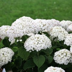 This NEW Dwarf Hydrangea is a game-changer! The Invincibelle Wee White Hydrangea forms perfectly large #white flowers and start blooming in early summer. Best of all, the stems are bred specifically to be strong, no more drooping flowers! They are very carefree and very easy to grow! They will thrive in zones 3-9. We have a very limited quantity of this new dwarf hydrangea introduction. Order yours today…