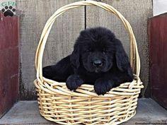 Heidi, Bernese Golden Mountain Dog puppy for sale in Pottstown, Pa