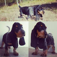 Puppy Basset bleu de Gascogne