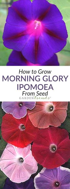 Ipomoea are vigorous growers that will climb up fences and trellises, creating a vertical effect in the garden. Also, try growing Morning Glories in hanging baskets that can be placed anywhere where there is full sun. We offer a number of different types, ranging from the old fashioned, large flowered types to the less vigorous, smaller flowered types. Or try our Moonflower that will produce huge white blooms that open at nighttime! Click here to learn how to grow them! #gardentrends…