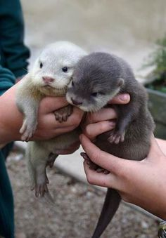 Two baby otters!